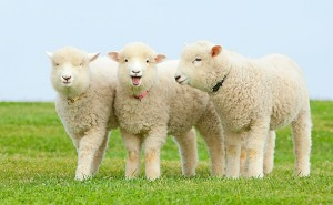 pic_sheep_02