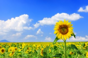Landscape - Yellow sunflowers on field and the blue sky